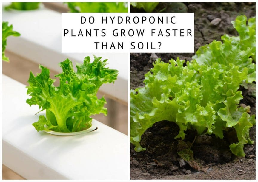 do hydroponic plants grow faster than soil