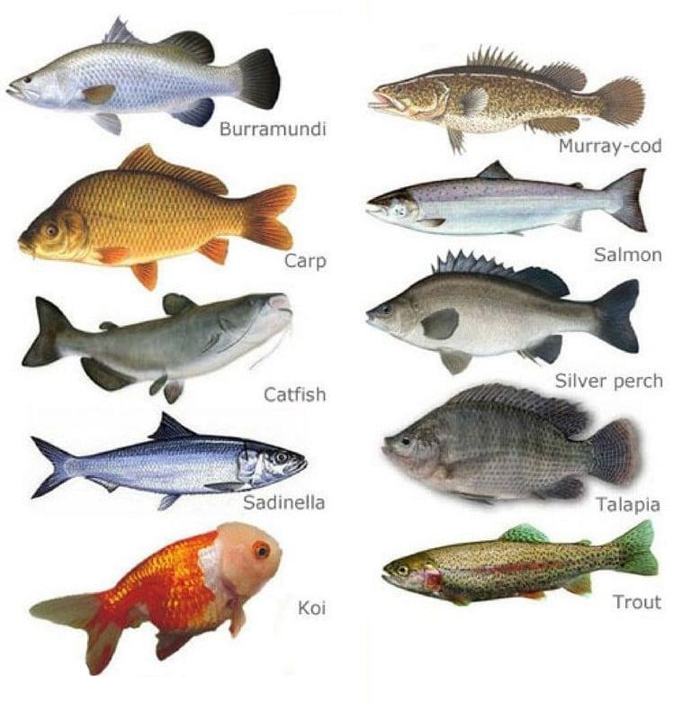 suitable fish for aquaponics
