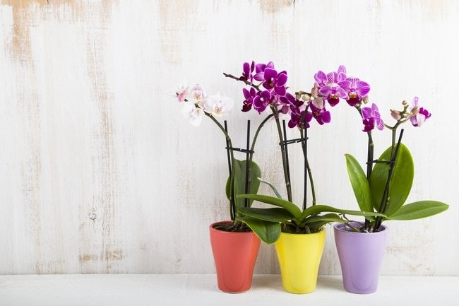 phalaenopsis orchid care for beginners