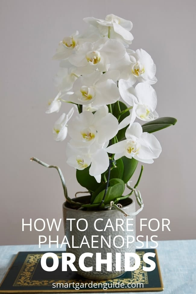 phalaenopsis orchid care for beginners moth orchid