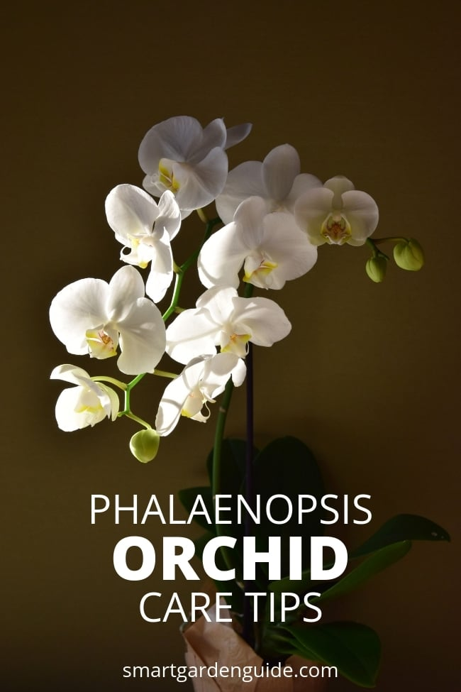 phalaenopsis orchid care tips