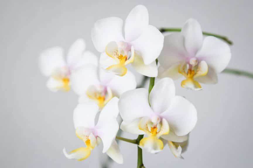 Phalaenopsis Orchid Care For Beginners Easy Guide Smart Garden Guide