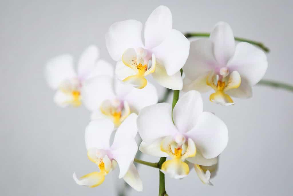 Phalaenopsis Orchid Care For Beginners Easy Guide Smart Garden