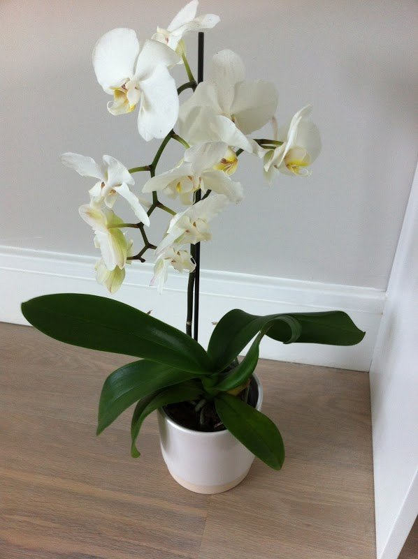 Phalaenopsis Orchid Care For Beginners Easy Guide Smart Garden
