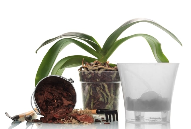 phalaenopsis orchid care for beginners repot