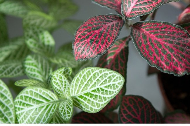 nerve plant care fittonia
