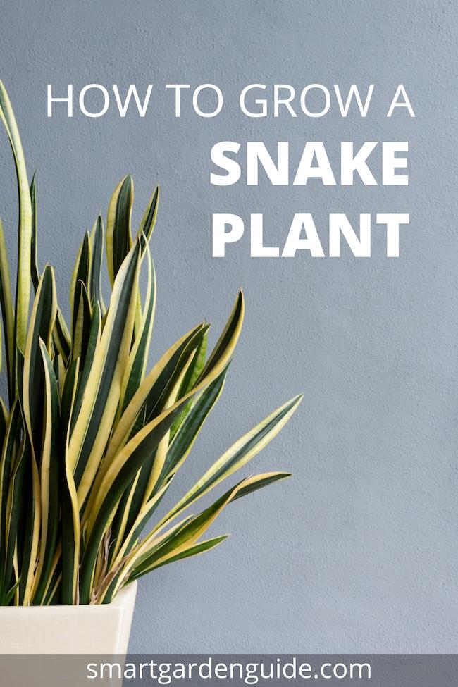 snake plant care sansevieria trifasciata