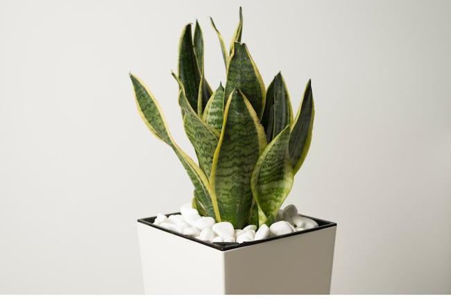 Snake Plant Care Top Tips For Growing Sansevieria Smart Garden