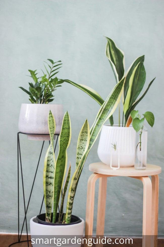 snake plant care top tips for growing sansevieria smart garden guide. Black Bedroom Furniture Sets. Home Design Ideas