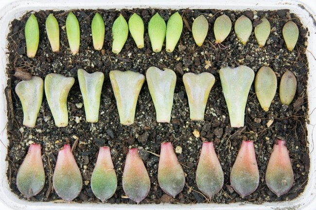 how to propagate echeveria succulents