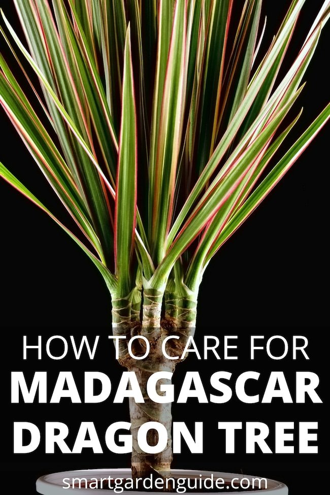 madagascar dragon tree care dracaena marginata