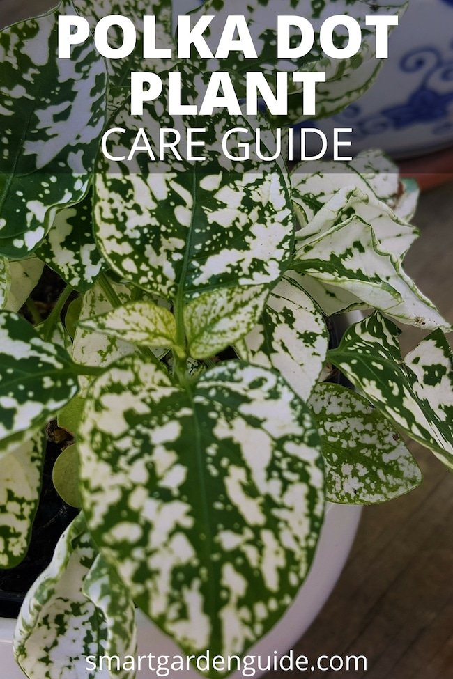 polka dot plant care hypoestes phyllostachya