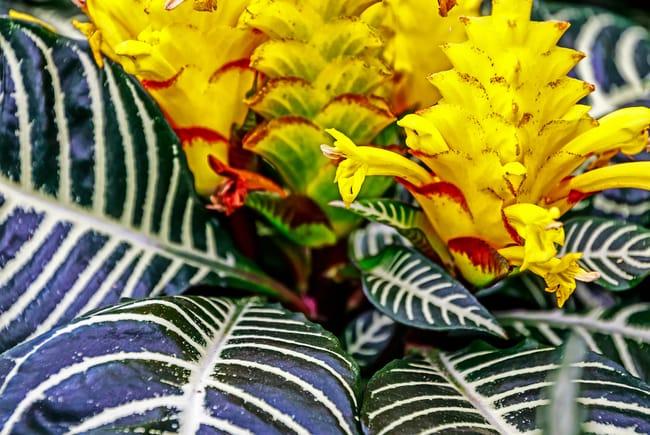zebra plant care Aphelandra squarrosa