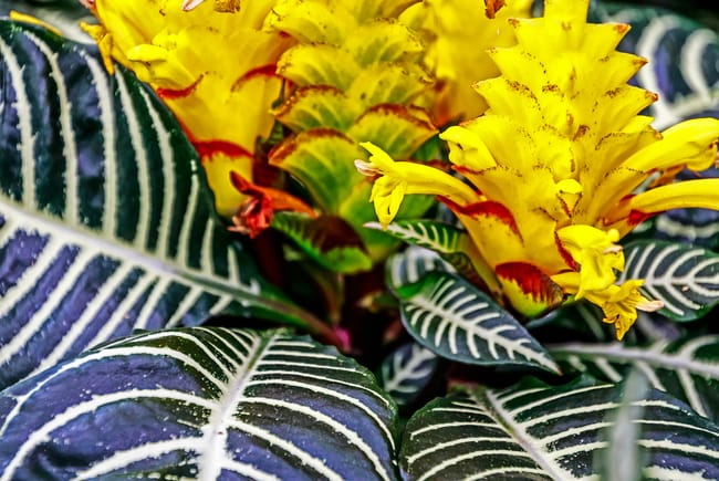 Zebra Plant Aphelandra squarrosa flower