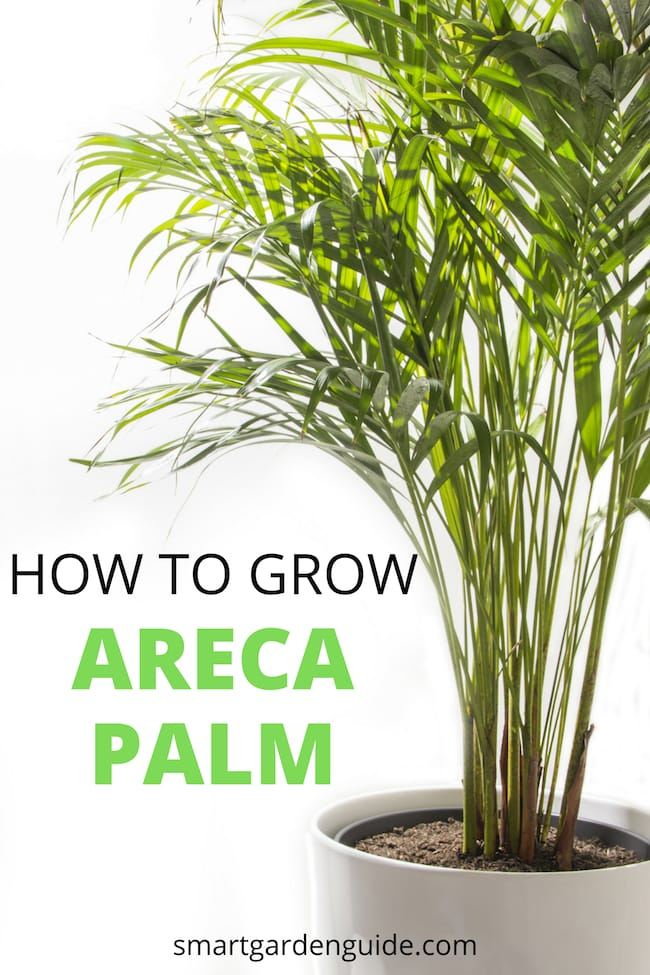 areca palm care golden cane plam yellow butterfly palm care