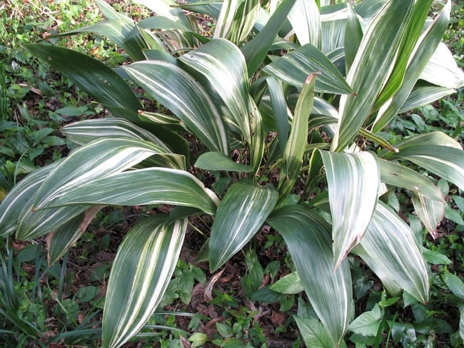 aspidistra elatior variegata
