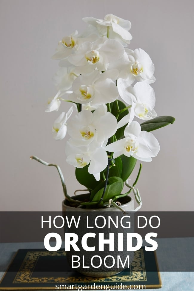 how long do orchids bloom