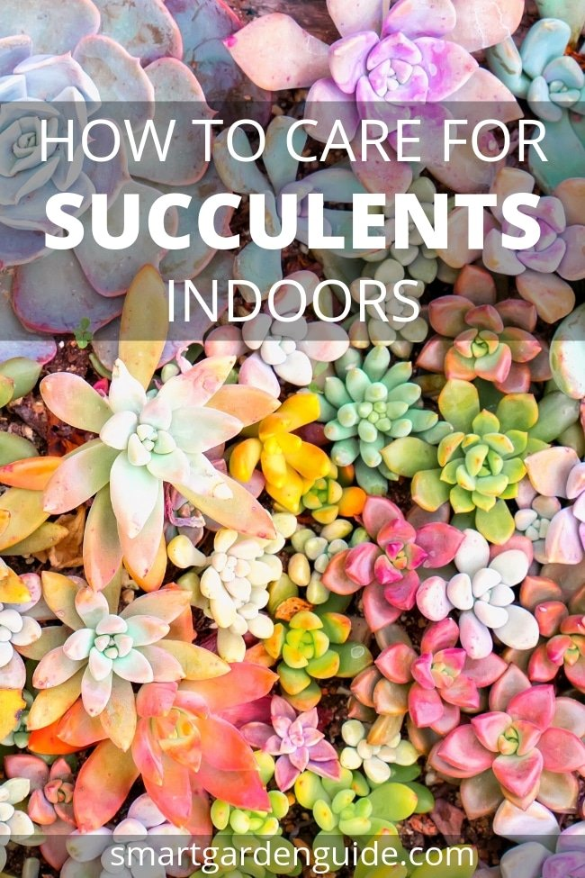 how to care for succulents indoors