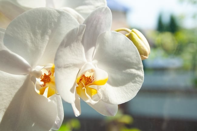 how to make phalaenopsis orchids rebloom
