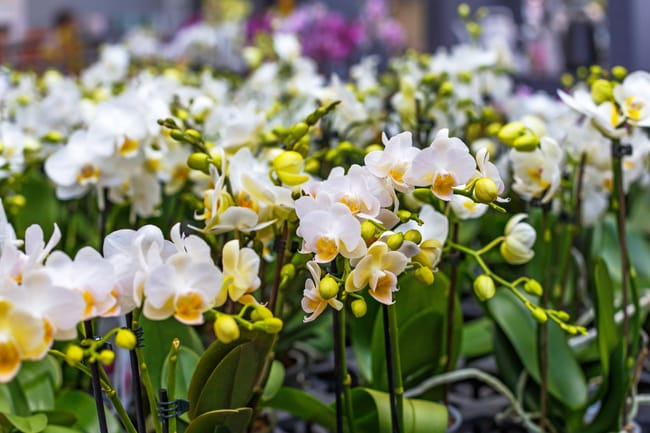 how to pick a phalaenopsis orchid at the store