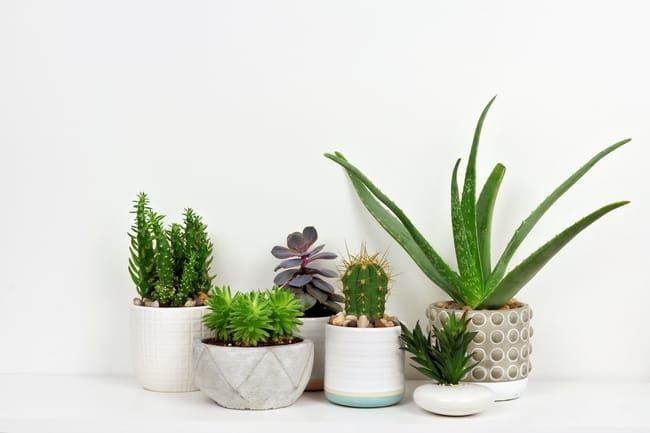 succulents and cacti indoor care