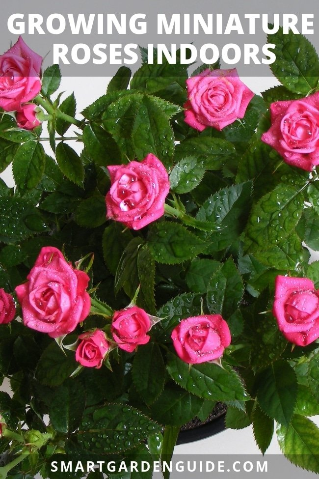 growing miniature roses indoors