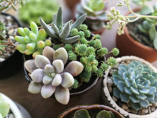 differnce between succulents and cacti