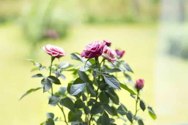 growing miniature roses indoors flowers
