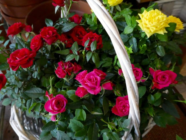 Growing Miniature Roses Indoors My