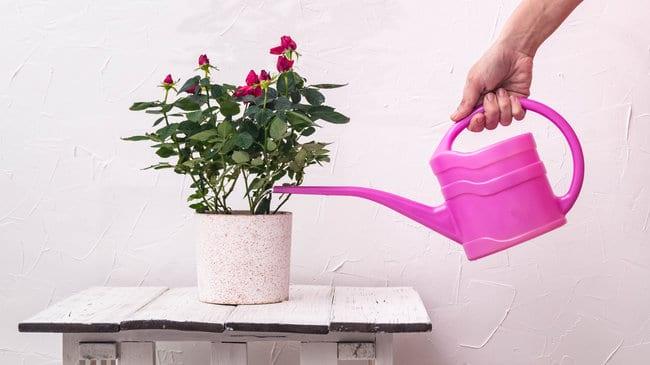 growing miniature roses indoors watering