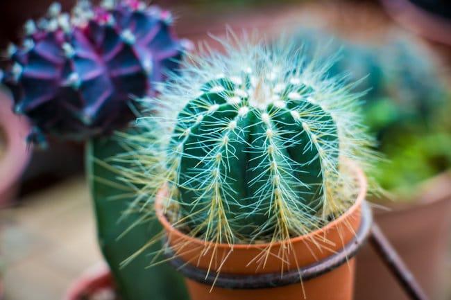 how long do cacti live
