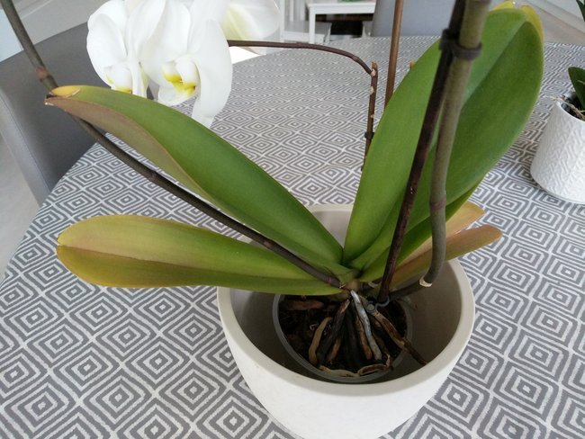Why Are The Leaves On My Orchid Turning Yellow Smart Garden Guide