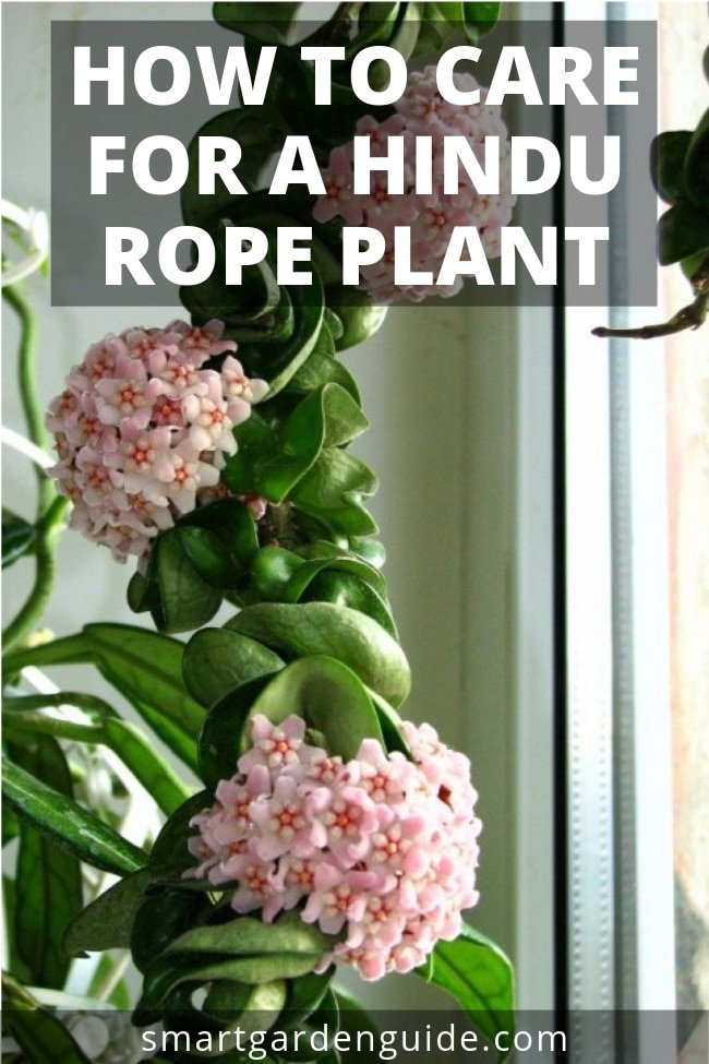 How To Care For A Hindu Rope Plant Hoya Carnosa Compacta Smart