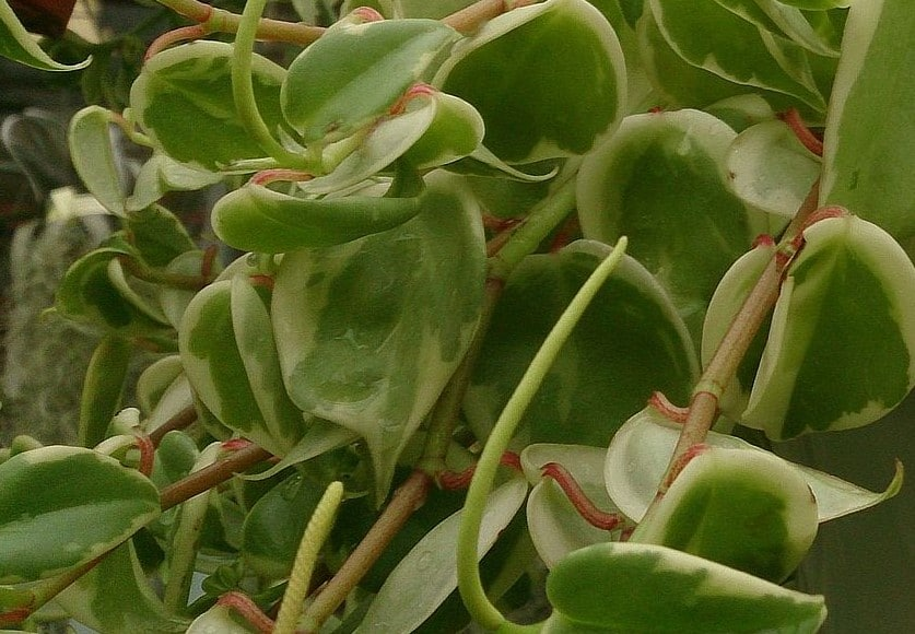 peperomia scandens how do i take care of a peperomia plant