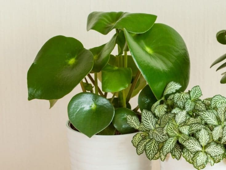 How To Take Care Of A Peperomia Plant (With Pictures ... Wilted Plants Healthy And Beautiful House on old house plant, yellow house plant, withered house plant, twisted house plant, waxy house plant, reviving a wilted plant, dry house plant, dying house plant, dead house plant,