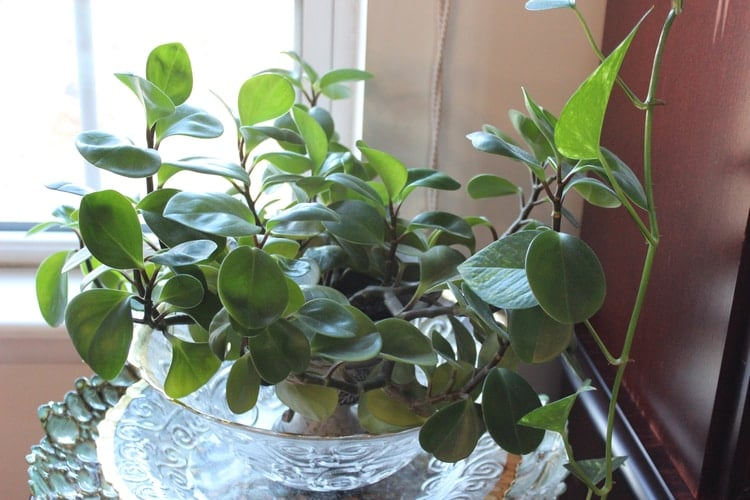 how do i take care of a peperomia plant