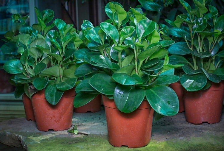 what to look for when buying a peperomia plant