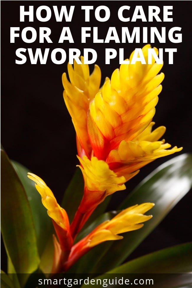 how to care for a vriesea plant flaming sword