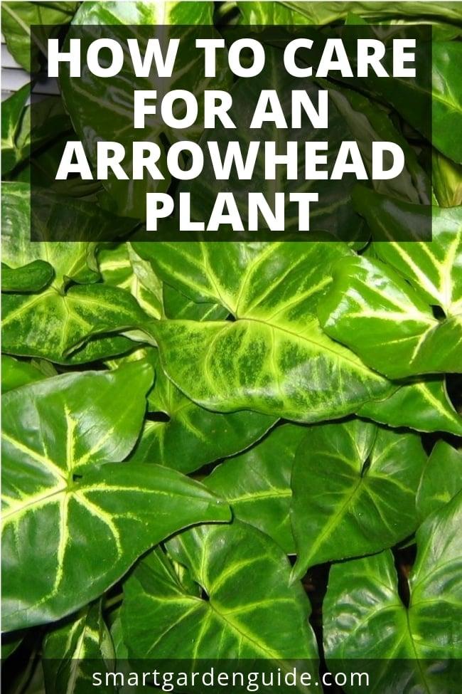 how to care for an arrowhead plant
