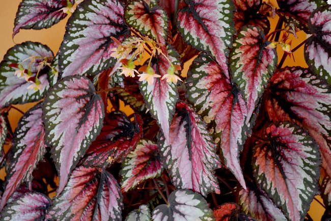 rex begonia care indoors