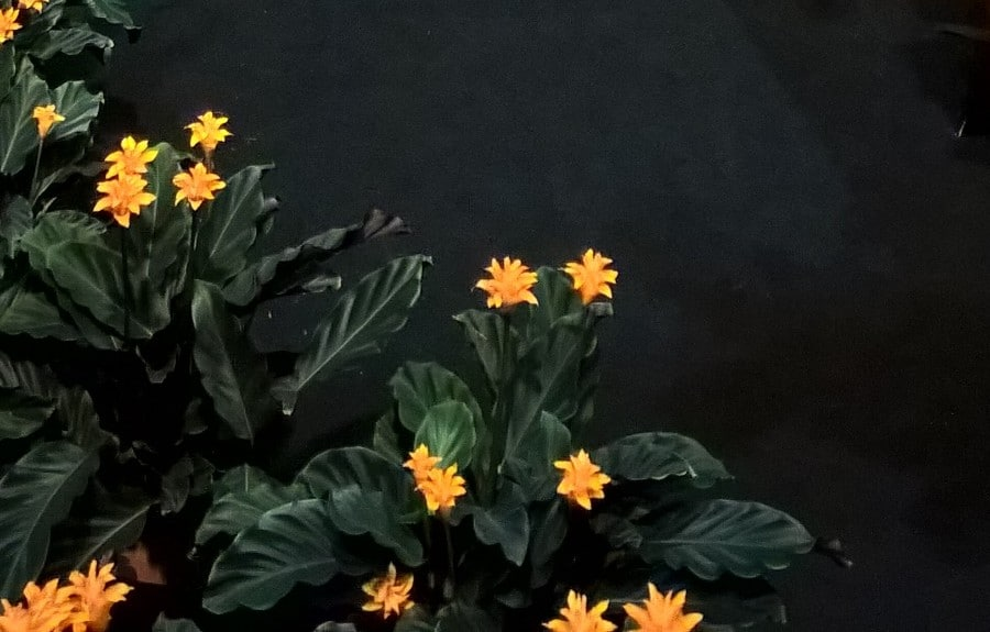 how to care for calathea crocata eternal flame plant