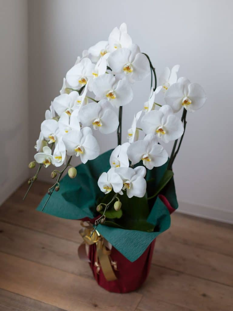 are orchids good gifts