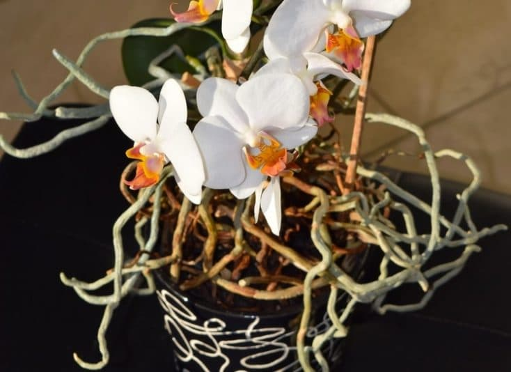 can orchid air roots be trimmed