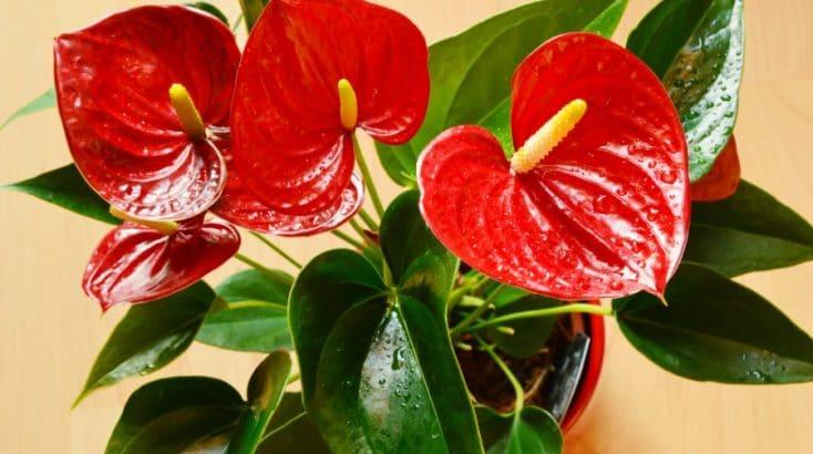 how to care for anthurium flamingo flower