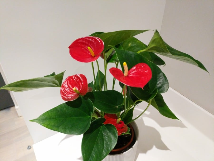 how to care for anthurium flamingo flower