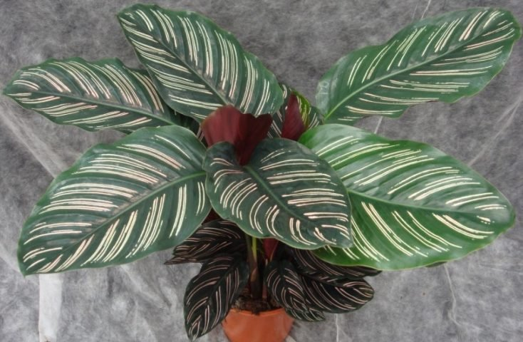 How To Care For Calathea Ornata (Pinstripe Plant) - Smart ... House Plant Leaves With Purple Oval on olive tree green leaves, florida plants with red leaves, house plants with colorful leaves, house plants and their names, wandering jew with fuzzy leaves, purple foliage plants with leaves, house plants with waxy red blooms, house plants with long green leaves, house plants with small leaves, house plant rubber plant, house with red flowers, house plants with shiny leaves, house plants with bronze leaves, house plant purple heart, house plants with dark red leaves, poisonous plants with purple leaves, perennial plants with purple leaves, tomato plants with purple leaves, purple house plant fuzzy leaves, house plants with light green leaves,