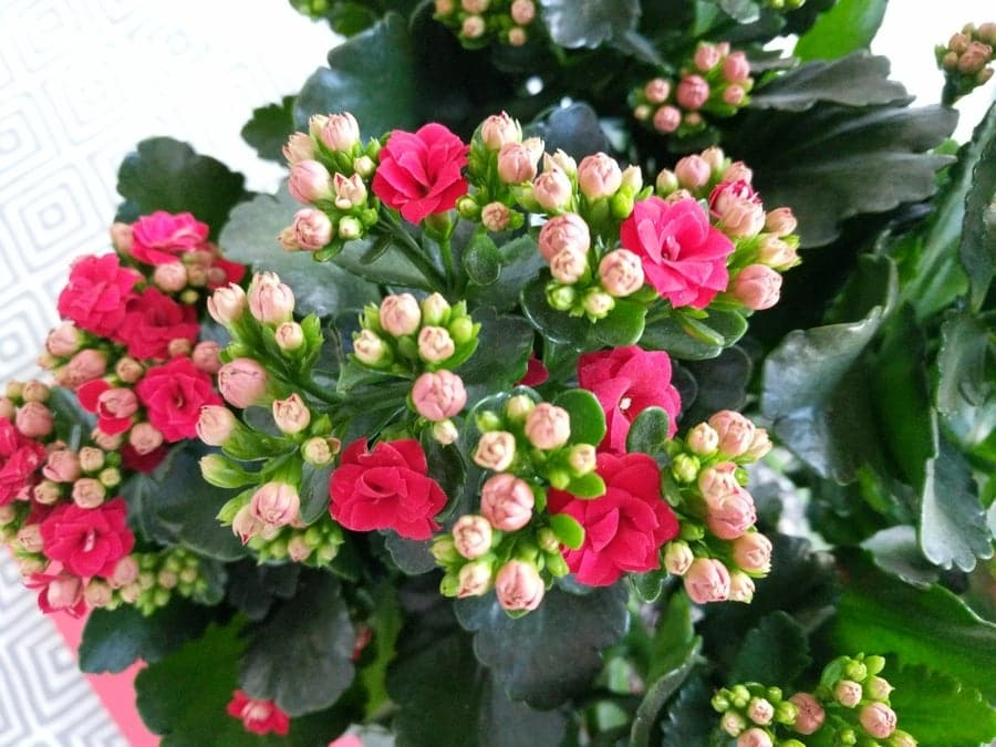 How To Care For Flaming Katy Kalanchoe Blossfeldiana