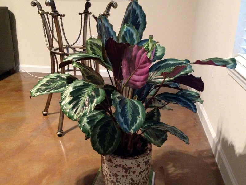 17 Beautiful Houseplants Safe For Cats With Pictures Smart