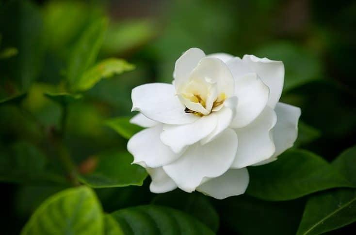 grow gardenias indoors