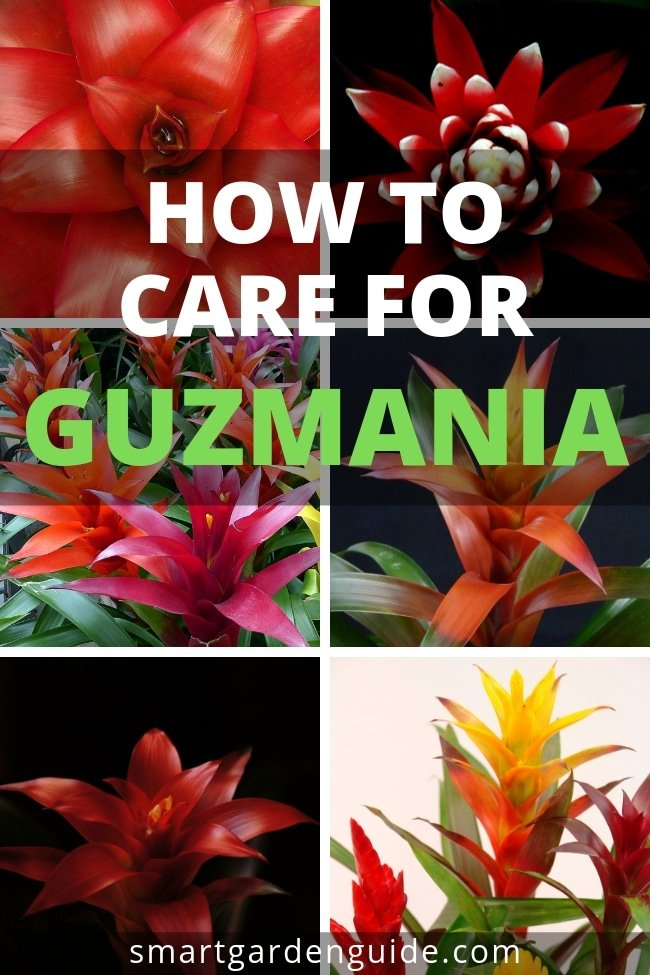 how do you care for a guzmania plant